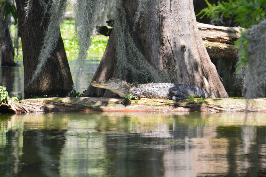 alligators bayous louisiane