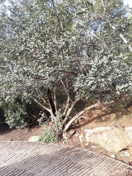 arbre parc guell