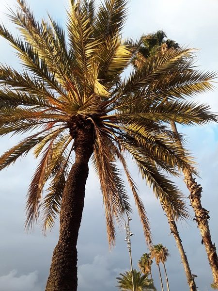palmier barceloneta