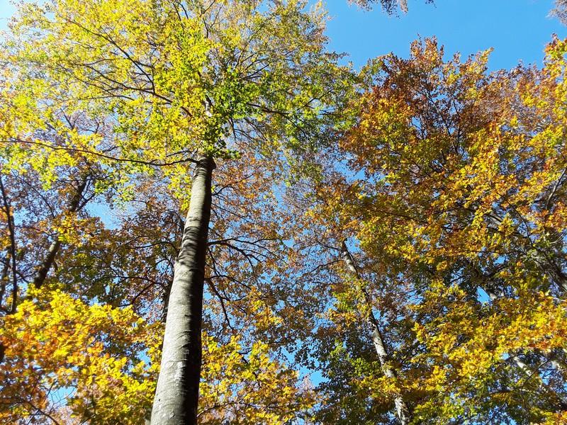 couleurs d'automne Fageda de la Grevolosa