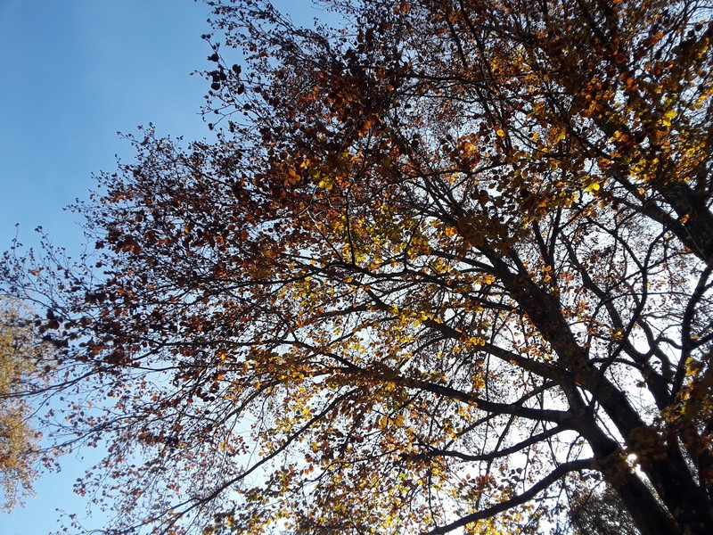 arbre Fageda de la Grevolosa