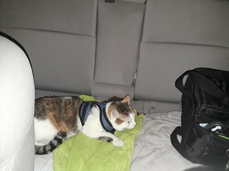 chat en voiture 2